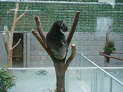 DSC01691-coala.jpg