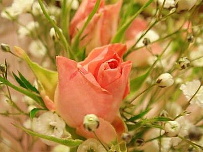DSC05859_rose.jpg