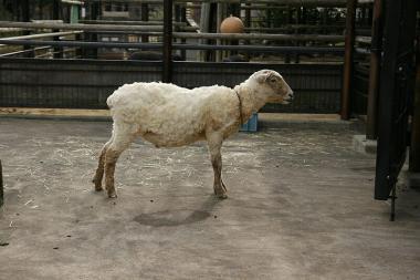 たぶん…羊?