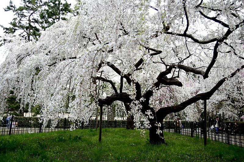 【フォトレポート】京都御所でもお花見してきました