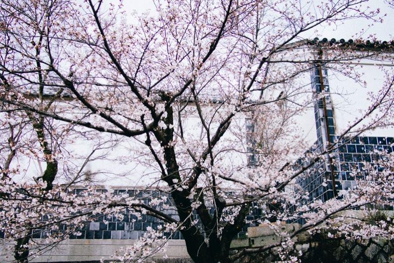 倉敷お花見
