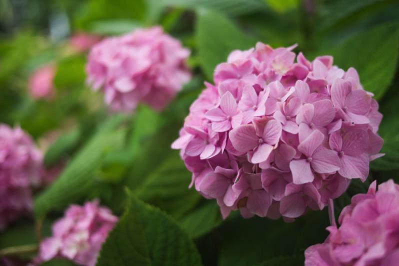 万博の紫陽花